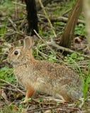 królik cottontail Zdjęcie Stock
