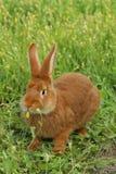 królik czerwień Fotografia Royalty Free