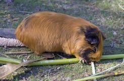 Królik doświadczalny jest ślepuszonka ssaka gwineą quévy Obrazy Royalty Free