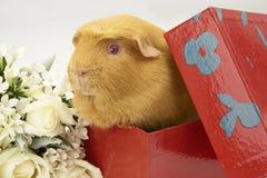 Królik Doświadczalny w czerwieni jaskrawy pudełku obrazy stock
