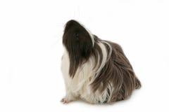 królik doświadczalny Fotografia Royalty Free