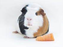 królik doświadczalny Obraz Royalty Free