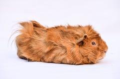 królik doświadczalny Zdjęcie Royalty Free