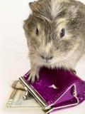 królik doświadczalny gotówkowy portfel fotografia stock