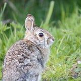 królik dziki Zdjęcia Royalty Free