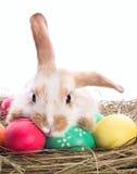 królik Easter męczący Zdjęcie Stock