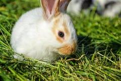 Królik karmy wewnątrz trawa w wiośnie Śliczny królik żuć siano w ogródzie Tradycyjny Wielkanocny symbol Zdjęcie Royalty Free