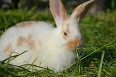 Królik karmy wewnątrz trawa w wiośnie Śliczny królik żuć siano w ogródzie Tradycyjny Wielkanocny symbol Fotografia Stock