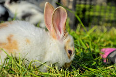 Królik karmy wewnątrz trawa w wiośnie Śliczny królik żuć siano w ogródzie Tradycyjny Wielkanocny symbol Fotografia Royalty Free