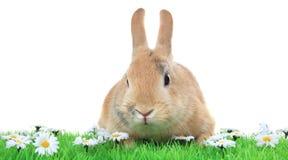królik krasnolud Zdjęcia Royalty Free