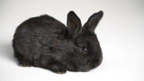 Królik lub królik na białym tle zbiory