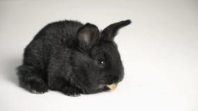 Królik lub królik na białym tle zbiory wideo