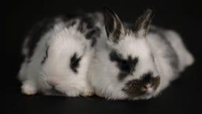 Królik lub królik na czarnym tle zdjęcie wideo