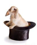 królik magiczny Zdjęcia Stock