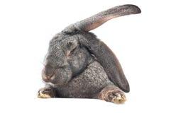 królik śmieszne Obraz Royalty Free