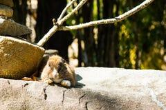 królik na kamieniu w Tajlandia Obraz Stock