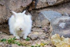 królik na kamieniu w Tajlandia Obrazy Stock