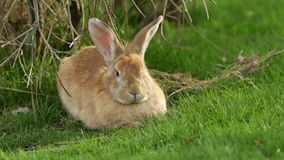 Królik na trawie zbiory wideo