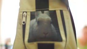 Królik podpatruje z torby zbiory wideo