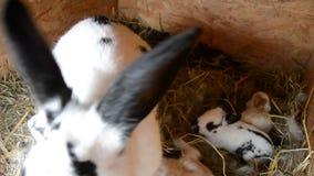 Królik rodzina je słomę w klatce zbiory