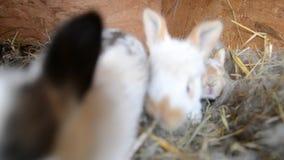 Królik rodzina je słomę w klatce zbiory wideo