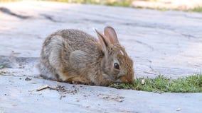 królik słodki zbiory