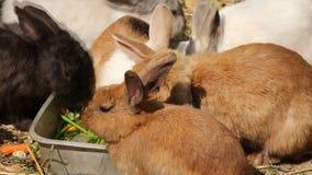 Królik samiec męski łasowanie wraz z kobietą, królica, figlarka, zestaw, króliki zbiory wideo
