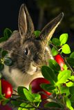 Królik z czerwonymi Easter jajkami zdjęcie royalty free