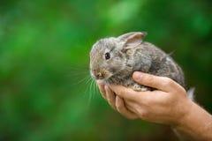 królik Zwierzę w mężczyzna rękach fotografia stock