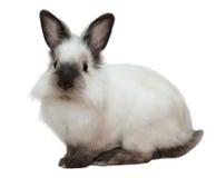 królika biel Zdjęcie Royalty Free