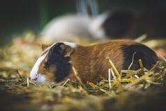 Królika doświadczalnego cavia porcellus Fotografia Stock