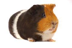 królika doświadczalnego portret Zdjęcia Stock