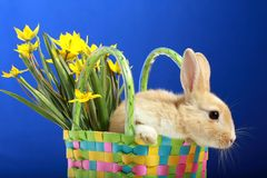 królika Easter tulipanów kolor żółty zdjęcia royalty free