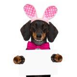 Królika Easter ucho pies Obraz Royalty Free