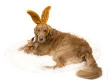 Królika golden retriever pies z królików ucho Fotografia Stock
