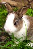 Królika królik Obrazy Royalty Free