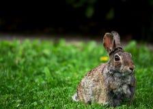 Królika królik zdjęcie royalty free