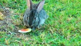 Królika królik na trawie zbiory wideo