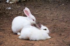 Królika królik w ogródzie Zdjęcia Stock