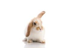 królika krótkopędu pracowniany biel Zdjęcia Stock
