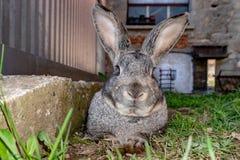Królika królika portret w gospodarstwie rolnym Zdjęcie Stock