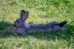 Królika królika portret w gospodarstwie rolnym Zdjęcie Royalty Free