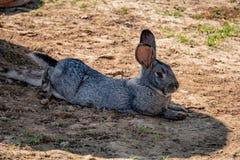 Królika królika portret w gospodarstwie rolnym Zdjęcia Royalty Free