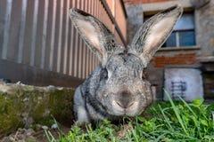 Królika królika portret w gospodarstwie rolnym Obraz Stock
