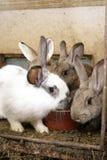 króliki Zdjęcia Stock
