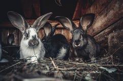 króliki Zdjęcia Royalty Free