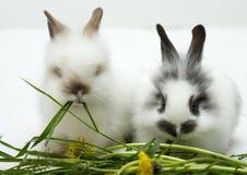 króliki dwa Obraz Stock