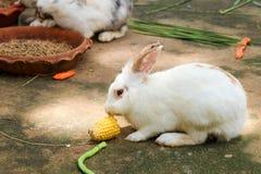 Króliki je królika jedzenie Zdjęcie Royalty Free