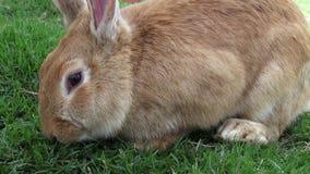 Króliki, królik, zając zbiory