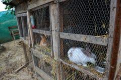 Króliki w jacie Zwierzęta gospodarskie w klatce Klatkowi króliki na stajnia jardzie Obraz Royalty Free
